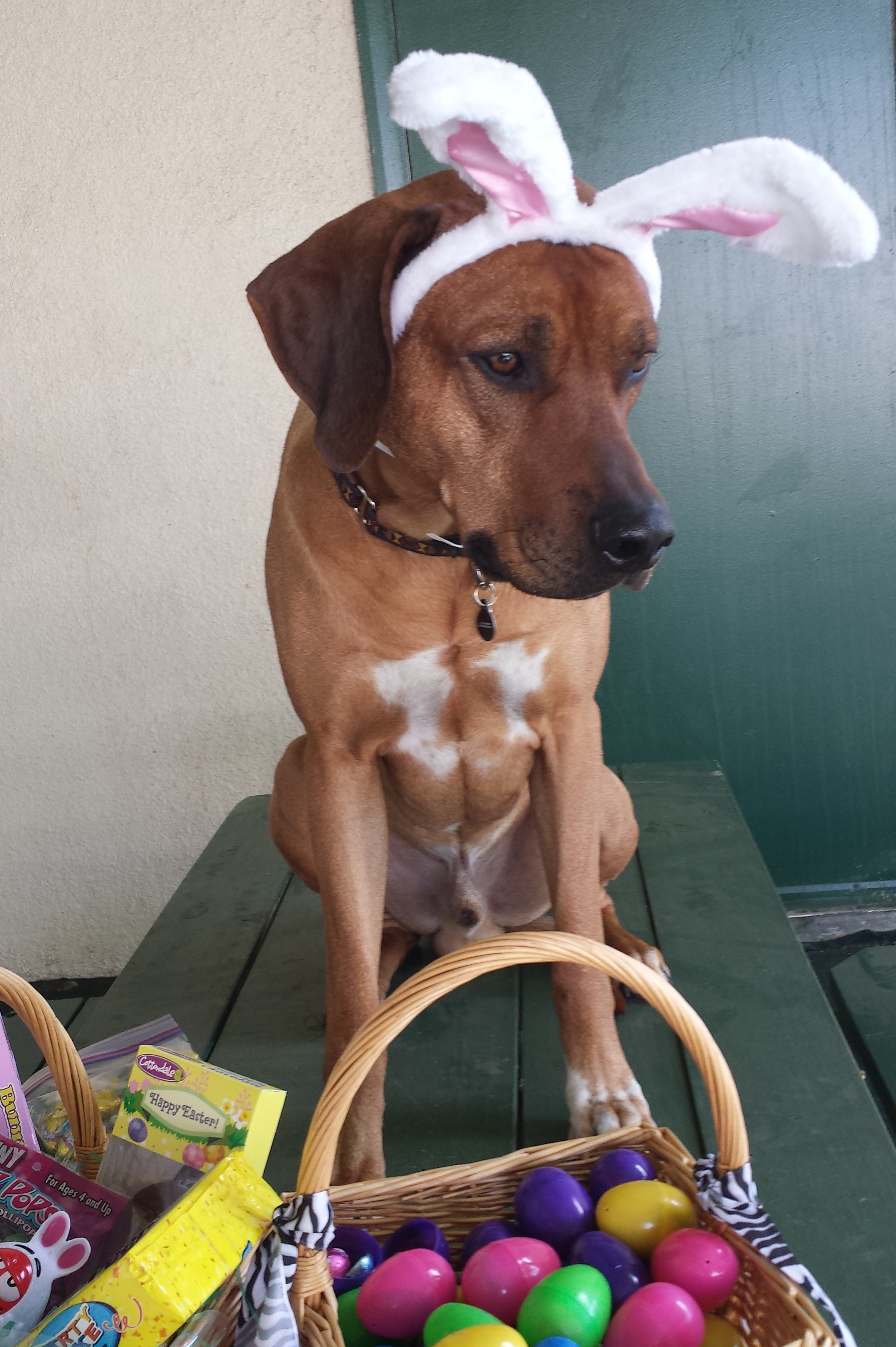 African treasure rhodesian ridgebacks therapy dog kuyu has followed in his father kanzus footsteps and is now busy working to earn his official therapy dog certification his favorite site to visit was 1betcityfo Image collections